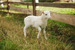 Petit agneau mignon dans le pré Image stock