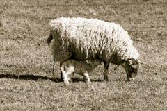 Petit agneau mignon nouvellement soutenu ayant leurs premières boissons de lait Photos libres de droits