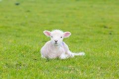 Petit agneau mignon sautant dans un pré dans une ferme Images stock