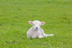 Petit agneau mignon sautant dans un pré dans une ferme Photo stock