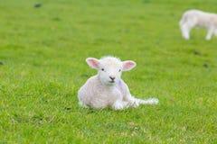 Petit agneau mignon sautant dans un pré dans une ferme Image libre de droits
