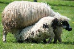 Petit agneau obtenant du lait en été Image stock