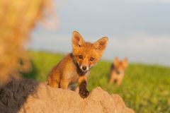 Petit animal curieux de renard images stock
