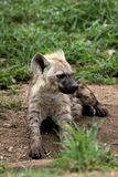 Petit animal d'hyène photos libres de droits