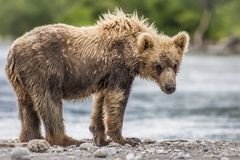 Petit animal d'ours Photo stock