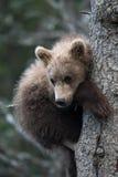 Petit animal d'ours brun d'Alaska mignon Photographie stock