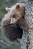 petit animal d 39 ours brun d 39 alaska mignon photo stock image 75923815. Black Bedroom Furniture Sets. Home Design Ideas