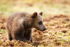 Petit animal d'ours brun eurasien dans le marais photo libre de droits