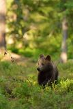 Petit animal d'ours de Brown Image stock