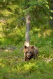 Petit animal d'ours de Brown Images stock