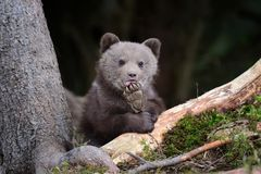 Petit animal d'ours de Brown Photo stock