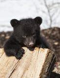 Petit animal d'ours noir photographie stock