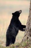Petit animal d'ours noir américain photos stock