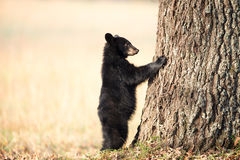 Petit animal d'ours noir américain Photo libre de droits