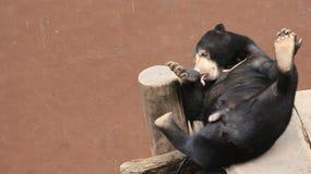 Petit animal d'ours noir au zoo images stock