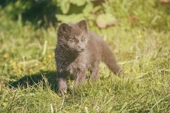 Petit animal de Fox arctique images libres de droits
