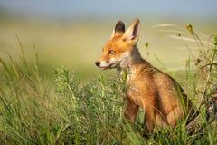 Petit animal de Fox Le jeune Fox rouge se repose dans l'herbe photographie stock libre de droits