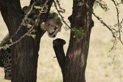 Petit animal de guépard dans le masai Mara Image libre de droits