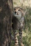 Petit animal de guépard dans le masai Mara Photographie stock libre de droits