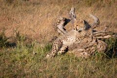 Petit animal de guépard se trouvant sur l'herbe d'identifiez-vous photo libre de droits