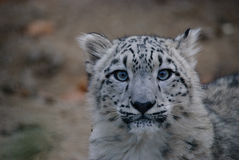 Petit animal de léopard de neige Photo libre de droits