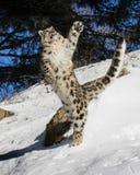 Petit animal de léopard de neige Image libre de droits