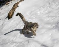 Petit animal de léopard de neige Image stock