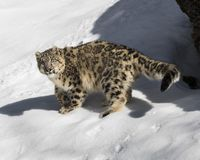 Petit animal de léopard de neige Photos libres de droits