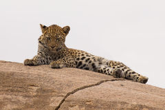 Petit animal de léopard se reposant sur une mère de attente de grande roche Photo libre de droits