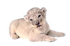 Petit animal de lion Photo libre de droits