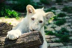 Petit animal de lion blanc mignon dans le zoo de Beograd photos stock
