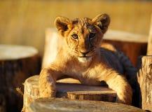 Petit animal de lion dans la nature et le rondin en bois Contact visuel Images libres de droits
