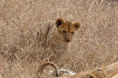 Petit petit animal de lion dans les prairies sur Masai Mara, Kenya Afrique photo stock