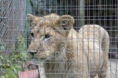 Petit animal de lion dans une cage photographie stock libre de droits