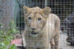 Petit animal de lion dans une cage photos stock