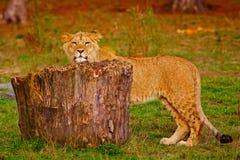 Petit animal de lion derrière un tronçon Images stock