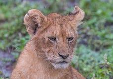 Petit animal de lion en Afrique photos stock