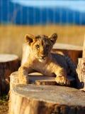 Petit animal de lion en nature avec le ciel bleu et le rondin en bois Contact visuel Photos libres de droits