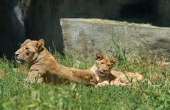 Petit animal de lion espiègle avec sa mère Image libre de droits