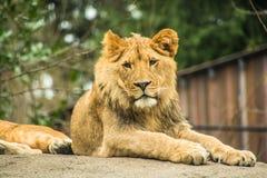 Petit animal de lion lounging sur une roche Photo libre de droits