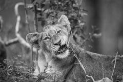 Petit animal de lion mâchant sur un bâton en noir et blanc Photos libres de droits