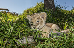 Petit animal de lion mâchant sur l'herbe Photographie stock