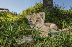 Petit animal de lion mâchant sur l'herbe Photographie stock