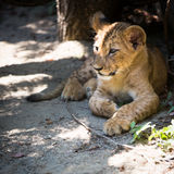 Petit animal de lion mignon Photographie stock libre de droits