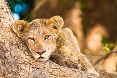 Petit animal de lion mignon Image stock