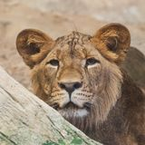Petit animal de lion regardant dans le zoo photo stock