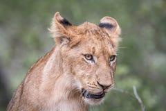 Petit animal de lion regardant vers le bas Image libre de droits