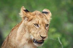 Petit animal de lion regardant vers le bas Photographie stock