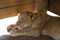 Petit animal de lion se reposant dans un abri en bois Photos stock