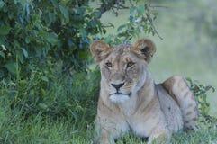 Petit animal de lion se reposant regardant la gauche photographie stock